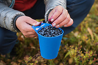 Hiker picking wild blueberries outside Tärnasjös hut, Kungsleden trail, Lapland, Sweden