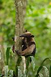 Northern Tamandua (Tamandua mexicana) climbing tree, Pipeline Road, Gamboa, Panama