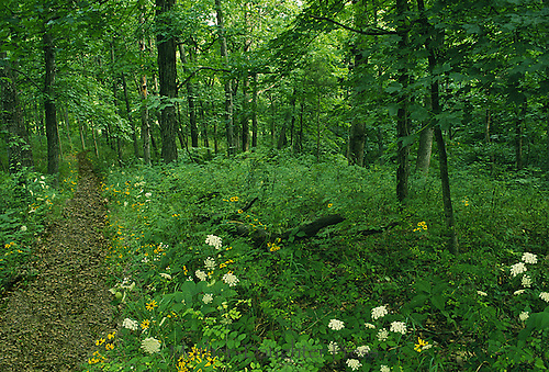 Path in the woods Series: Summer in the shade of the deep woods along the path, Missouri USA
