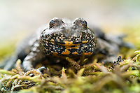 European fire-bellied toad (Bombina bombina), klockgroda<br /> Location: Eneborg, Sk&aring;ne, Sweden