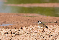 A Killdeer, Charadrius vociferus, stands on the shore of a lake in the Riparian Preserve at Water Ranch, Gilbert, Arizona