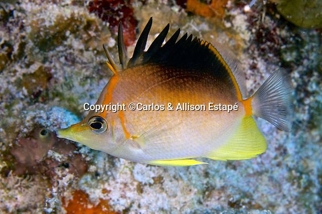 Prognathodes aculeatus, Longsnout butterflyfish, Grand Cayman
