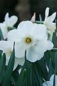Narcissus 'Misty Glen', late April.