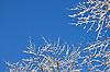 verschneite Buche vor blauem Himmel