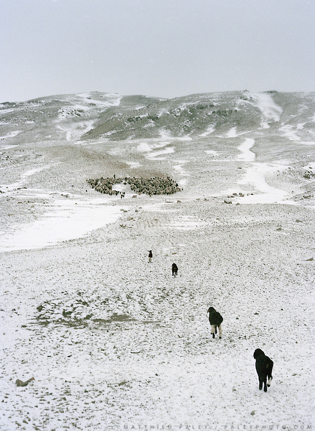 Sheep herd's return. Young lamb run towards their mother..Campment of Ortobil (Sufi), all the way at the end of the Little Pamir, near the Tajik/China border. .Winter expedition through the Wakhan Corridor and into the Afghan Pamir mountains, to document the life of the Afghan Kyrgyz tribe. January/February 2008. Afghanistan