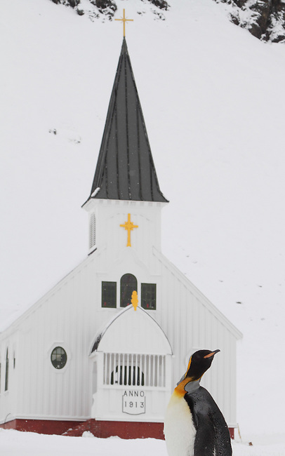 King penguin in the snow in front of Grytviken Church. South Georgia. Sub Antarctic Islands