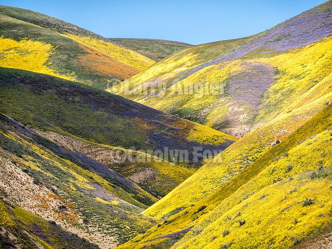 Shadow and light, colorful wildflowers cover the Temblor Range, Carrizo Plain National Monument, San Luis Obispo County, Calif.