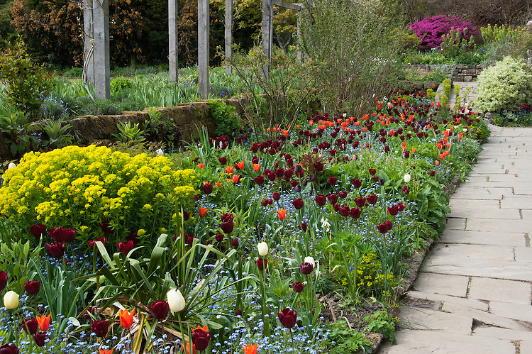 Purple-red Tulip 'Jan Reus' and orange, lily-flowered 'Ballerina' in a mixed border at Gravetye Manor, early May.