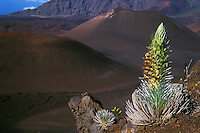 The Silversword acts as a sentinel of the cinder cones in the crater of HALEAKALA NATIONAL PARK on Maui in Hawaii