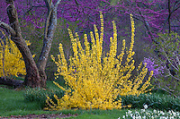 Forsythia 'Winterthur', yellow flowering spring shrub with Redbud tree (Cercis canadensis)- Winterthur Garden