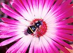 Dasysyrphus tricinctus hoverfly