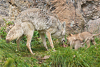 Wild Coyote (Canis latrans) mom regurgitating food for pups.  Western U.S., June.