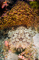 A thick school of Golden sweepers, Parapriacanthus ransonneti, hovers above the camouflaged Tasseled wobbegong, Eucrossorhinus dasypogon. Alyui Bay, Waigeo, Raja Ampat, Papua, Indonesia,