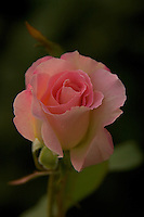 A close-up of a pink rose with dark background.