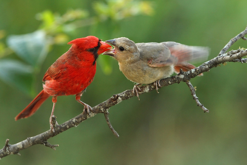Classic behavioral shot of a Cardinal male tending to his offspring.
