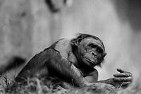 Bonobo Ape, San Diego Zoo