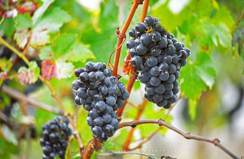 Bunches of ripe Cabernet Sauvignon grapes in the vineyard of Chateau du Tertre, Margaux. Water drops droplets on the grapes, Margaux Medoc Bordeaux Gironde Aquitaine France Europe