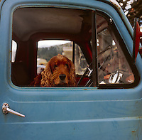Cocker spaniel sitting in old pickup truck, Bay of Islands, New Zealand.