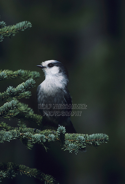 Gray Jay (Perisoreus canadensis), adult perched on fir tree, Yellowstone National Park,Wyoming, USA