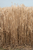 Miscanthus being grown for green energy <br /> &copy;Tim Scrivener Photographer 07850 303986<br />      ....Covering Agriculture In The UK....