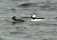 Pair of adult buffleheads in breeding plumage