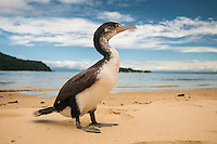Cormorant on Abel Tasman Coastal Track, Abel Tasman NP, Nelson Region, New Zealand