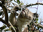 Koalas mostly eat eucalyptus leaves, which are quite low in energy.