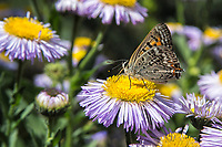Tailed Copper Butterfly on Aster