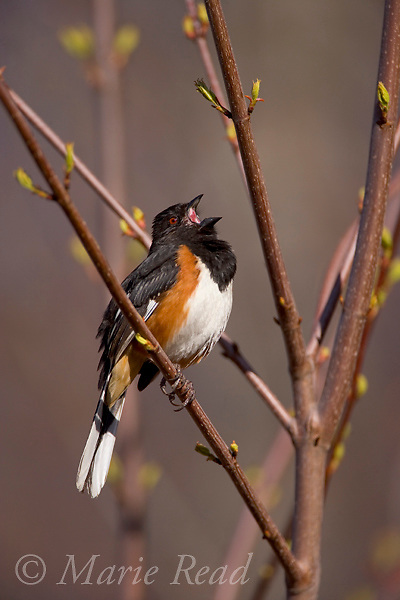 Eastern Towhee (Pipilo erythrophthalmus) male singing, Dryden, New York, USA