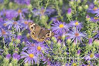 03411-01308 Common Buckeye (Junonia coenia) on Frikart's Aster (Aster frikartii) Marion Co. IL