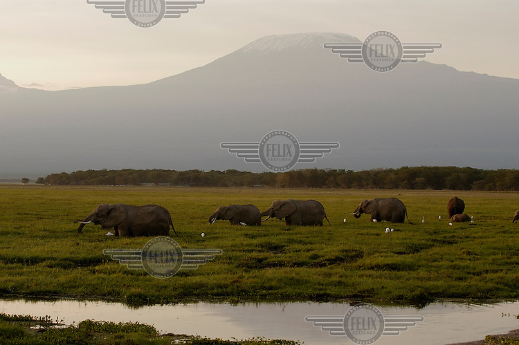 African elephants wade through a swamp in the early morning, in the shadow of Mount Kilimanjaro...