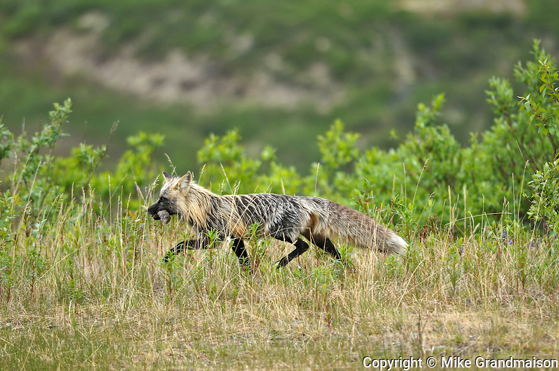 Red fox (cross phase) with rodent on the Dempster Highway near KM 72 close to the Tombstone Campground<br /> On the Dempster Highway<br /> Yukon<br /> Canada