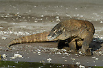 Komodo Dragon, Varanus komodoensis, Horseshoe bay, Komodo National Park