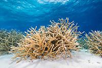 Staghorn coral, Acropora cervicornis, Bonaire, Netherland Antilles, Netherlands, Caribbean Sea, Atlantic Ocean