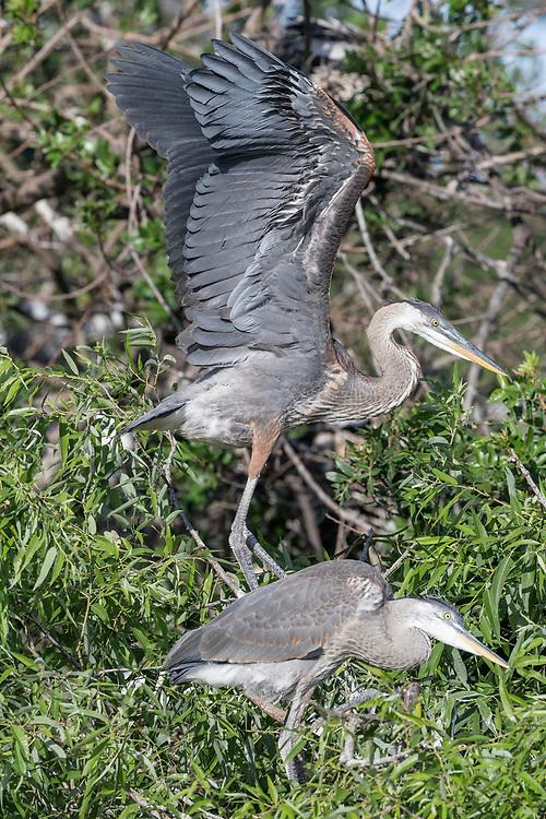 Great Blue Heron chicks - Great Blue Heron - Ardea herodias
