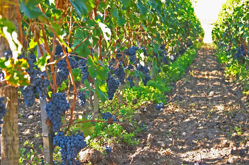 Merlot vines and grapes and the soil at la Grave Figeac, Saint Emilion, bordeaux - Chateau La Grave Figeac, Saint Emilion, Bordeaux