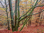 Beech forest in fall, Helsingborg region, Sweden