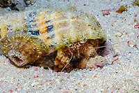Anemone hermit crab (scientific name: Dardanus pedunculatus), fish, Safaga, Egypt, Red Sea.