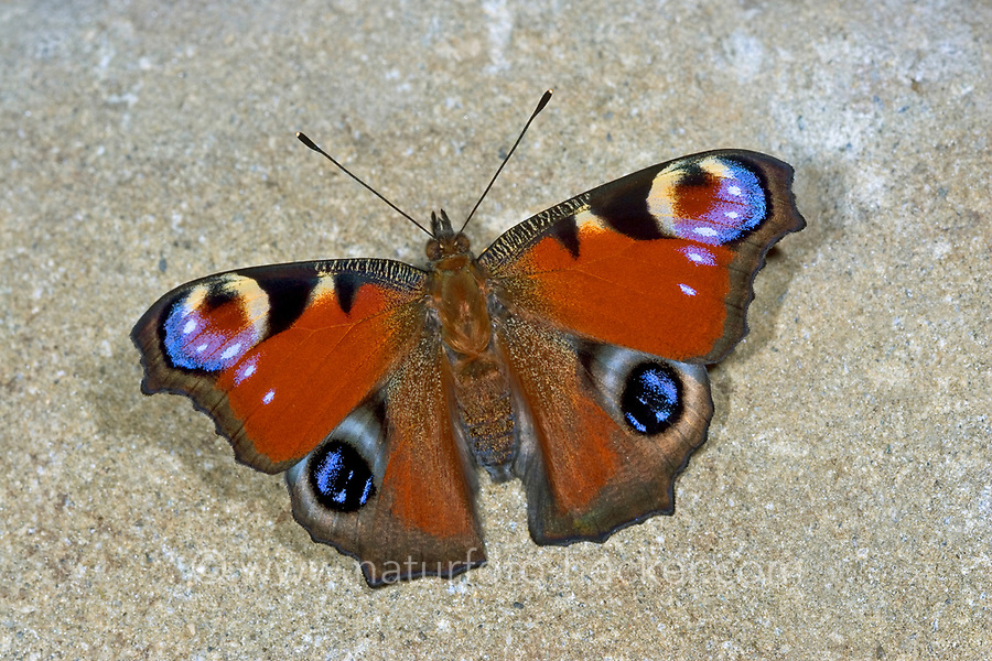 Tagpfauenauge, Tag-Pfauenauge, Aglais io, Inachis io, Nymphalis io, peacock moth, European peacock, peacock, peacock butterfly, Le Paon du jour