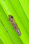 Variable Clown Treefrog (Hyla triangulum) under palmetto leaf after rain