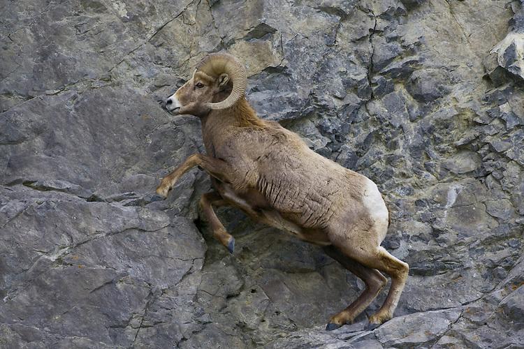 Bighorn Sheep (ovis canadensis) scrambling up a rocky ledge in Jasper National Park, Alberta, Canada
