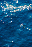 flying fish, flying, Family: Exocoetidae, Atlantic Ocean
