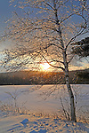 Glistening Ice Covered Birch Branches in the Setting Sun on a Wintry Hilltop in New Hampshire