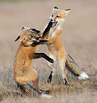 Foxes at play by Max Waugh
