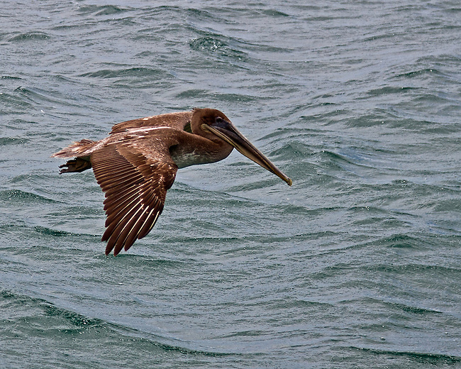Close up of a Brown Pelican flying across wavy ocean green waters waters in the Galapagos Islands. Wing almost touching the water.