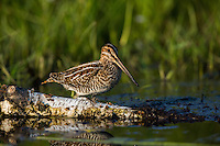 Snipe and Yellowlegs