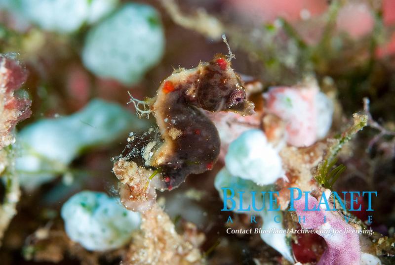 Pontoh's Pygmy Seahorse, Hippocampus pontohi, Lekuan dive site, Manado, Sulawesi, Indonesia, Pacific Ocean