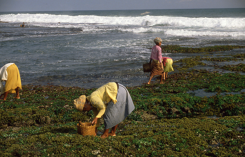 Indonesia, Java Island: harvesters of seaweed.<br /> Indonesia, isola di Giava, raccoglitrici di alghe.