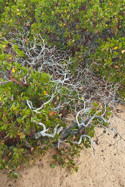 A Manzanita shrub grows on the Sand Harbor shore at Lake Tahoe - Nevada State Park