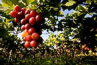 Uva | Grape